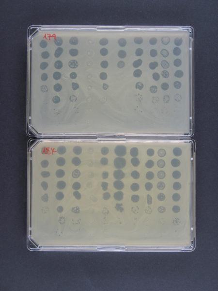 Empfindlichkeitsprüfung zweier MRSA-Patientenisolate gegenüber 10 verschiedenen Phagen