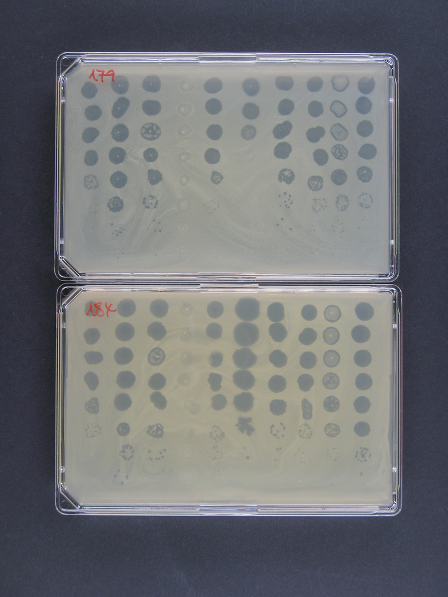 Susceptibility test of two MRSA patient isolates against 10 different phages