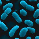 Escherichia coli, rasterelektronenmikroskopische Aufnahme, coloriert (Prof. Manfred Rohde, HZI, Braunschweig)